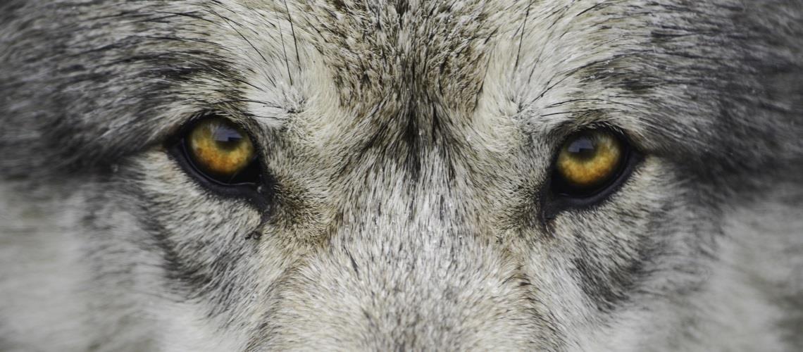 wolf hollow ipswich ma